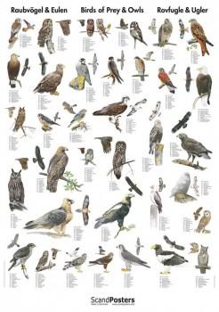 NaturplakatRovfugleogUgler-20