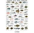 Naturplakat: Saltvandsfisk