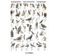 Naturplakat: Rovfugle og Ugler